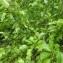 Mathieu MENAND - Pyrus pyraster subsp. pyraster