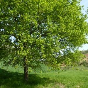 Photographie n°58408 du taxon Quercus robur L. [1753]