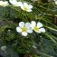 Mathieu MENAND - Ranunculus fluitans Lam. [1779]