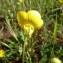 Mathieu MENAND - Ranunculus macrophyllus Desf.
