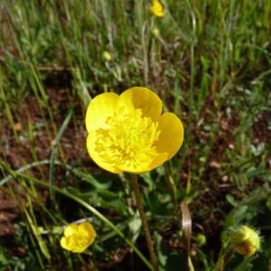 Photographie n°58428 du taxon Ranunculus macrophyllus Desf.