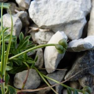 - Ranunculus seguieri Vill.