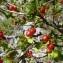 Mathieu MENAND - Ribes alpinum L.