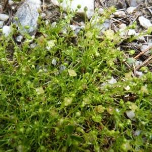 Photographie n°58485 du taxon Sagina procumbens L.