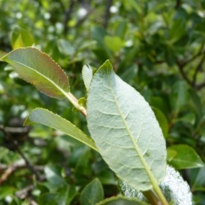 Photographie n°58498 du taxon Salix myrsinifolia Salisb. [1796]