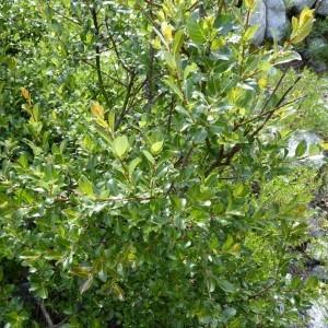 Photographie n°58499 du taxon Salix myrsinifolia Salisb. [1796]