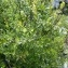 Mathieu MENAND - Salix myrsinifolia Salisb. [1796]