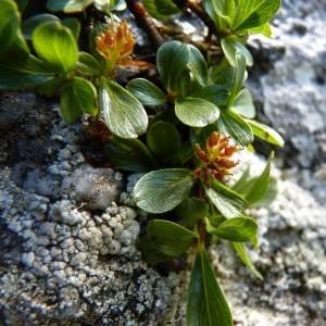 Photographie n°58501 du taxon Salix retusa L.