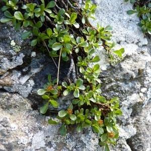 Photographie n°58502 du taxon Salix retusa L.