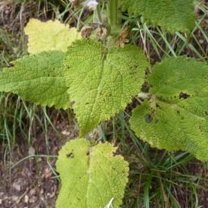 Photographie n°58512 du taxon Salvia sclarea L.