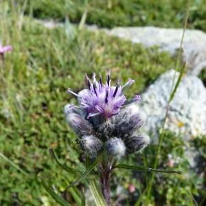 Saussurea alpina (L.) DC. (Saussurée des Alpes)