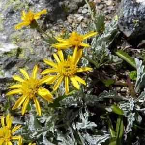 Jacobaea uniflora (All.) Veldkamp (Séneçon de Haller)