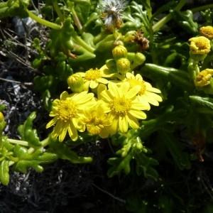 Senecio leucanthemifolius subsp. crassifolius (Willd.) Ball (Séneçon à feuilles grasses)
