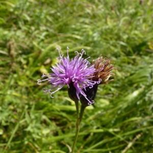 Serratula tinctoria subsp. monticola (Boreau) Berher (Serratule à gros capitules)