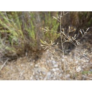 Sphenopus divaricatus (Gouan) Rchb. (Sphénope)