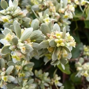 Thymelaea tartonraira (L.) All. (Passerine tartonraire)
