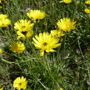 Photographie n°58709 du taxon Tolpis staticifolia (All.) Sch.Bip.