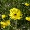 Mathieu MENAND - Tolpis staticifolia (All.) Sch.Bip.