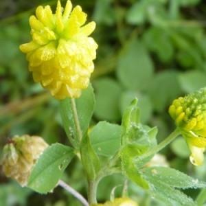Photographie n°58715 du taxon Trifolium aureum Pollich [1777]