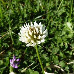 Photographie n°58722 du taxon Trifolium repens L. [1753]
