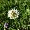 Mathieu MENAND - Trifolium repens L. [1753]