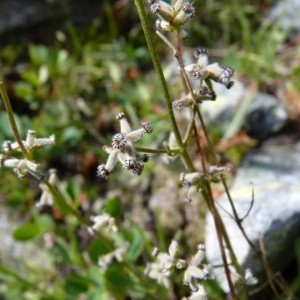 Photographie n°58749 du taxon Valeriana celtica L. [1753]