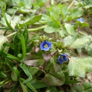 Photographie n°58760 du taxon Veronica acinifolia L. [1762]