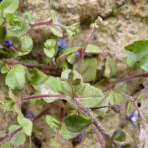 Photographie n°58761 du taxon Veronica acinifolia L. [1762]