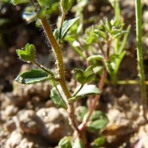 Photographie n°58762 du taxon Veronica acinifolia L. [1762]