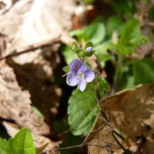 Veronica montana L. (Véronique des montagnes)