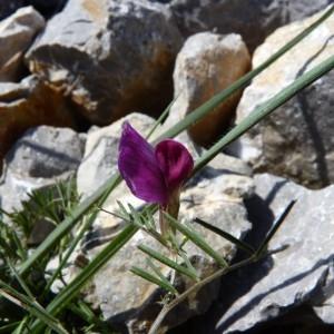 Vicia amphicarpa L. (Vesce à fruits dimorphes)