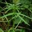 Catherine MAHYEUX - Trifolium angustifolium L. [1753]