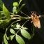 Bertrand BUI - Fraxinus angustifolia Vahl