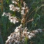 Bertrand BUI - Phragmites australis (Cav.) Steud.