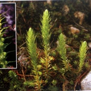 Photographie n°58860 du taxon Selaginella selaginoides (L.) Link [1841]