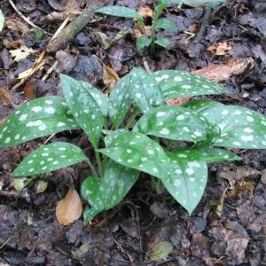Photographie n°58872 du taxon Pulmonaria affinis Jord.