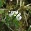 Catherine MAHYEUX - Arabis alpina L.