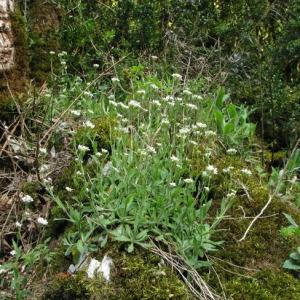 Photographie n°58884 du taxon Arabis alpina L.