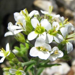 Abasicarpon patulum (Ehrh.) Andrz. ex Rchb. (Arabette à oreillettes)