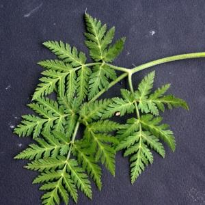 Photographie n°58890 du taxon Chaerophyllum villarsii W.D.J.Koch [1837]