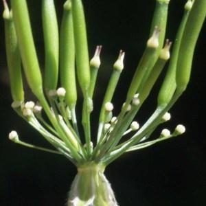 Photographie n°58893 du taxon Chaerophyllum villarsii W.D.J.Koch