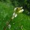 Catherine MAHYEUX - Arabis pauciflora (Grimm) Garcke [1858]