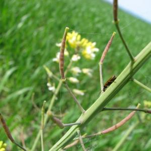 Photographie n°58908 du taxon Brassica napus L. [1753]