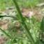 Catherine MAHYEUX - Capsella bursa-pastoris (L.) Medik. [1792]