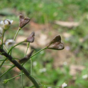 Photographie n°58916 du taxon Capsella bursa-pastoris (L.) Medik.