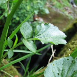 Photographie n°58924 du taxon Cardamine raphanifolia Pourr. [1788]