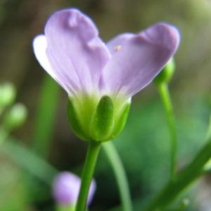 Photographie n°58927 du taxon Cardamine raphanifolia Pourr. [1788]