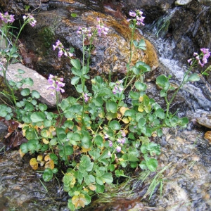 Photographie n°58929 du taxon Cardamine raphanifolia Pourr. [1788]