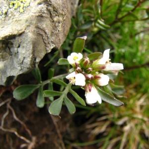 Cardamine hamulosa Bertol. (Cardamine à feuilles de réséda)