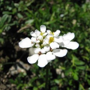 Photographie n°58952 du taxon Iberis sempervirens L.